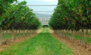 Il vino Mezzacorona supera i 160 mln nel 2012 (+7,3%)