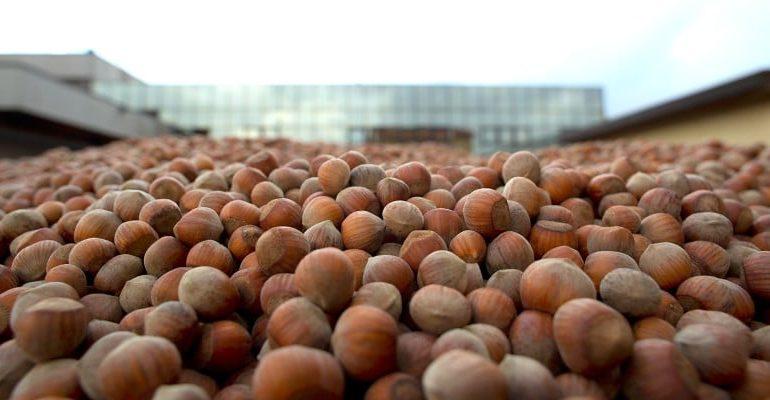 Rischio nocciole per la Nutella. E Ferrero sostiene le piantagioni italiane