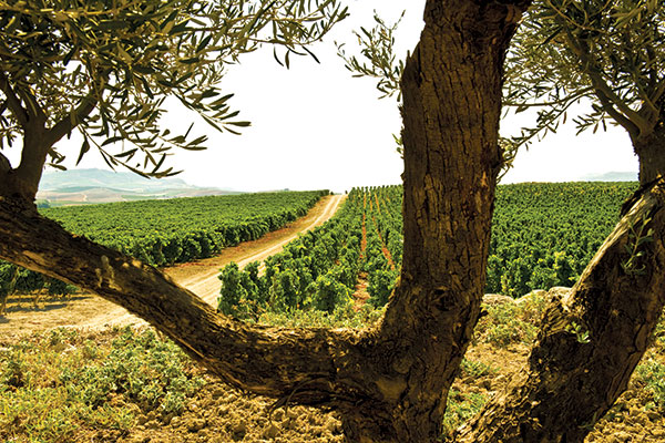 Sicilia, l'isola felice del vino