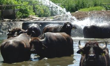 Fattorie Garofalo, 30 mnl per un allevamento di bufale