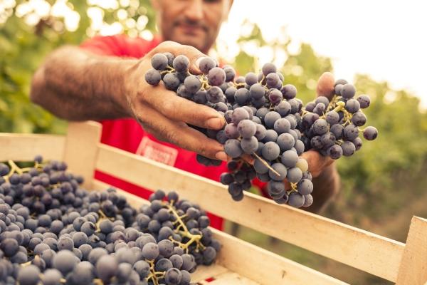 Il 2021 di Masi Agricola: dopo la semina, l'anno del raccolto
