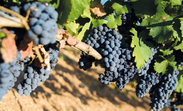 Il Primitivo traina la Puglia del vino. Latentia comanda in classifica