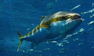 L'italiana Bolton compra il tonno Usa di Wild Planet