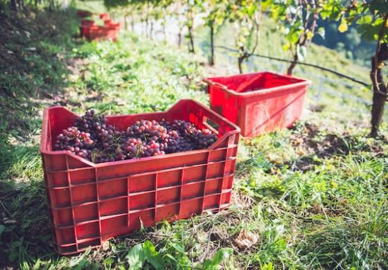 Il vino del Trentino pronto alla ripresa. Parola ai top 5 per fatturato
